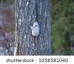 A Siberian Flying Squirrel...