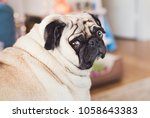 Stock photo a pug named olive 1058643383