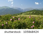 Stock photo the famous rose fields in the thracian valley near kazanlak bulgaria 105868424