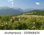 Stock photo the famous rose fields in the thracian valley near kazanlak bulgaria 105868424