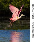Pink Spoonbill Takes Flight