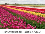 Row Of Colorful Tulips On Dutc...