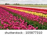 Row Of Colorful Tulips On Dutc...