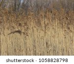dried stalks of reeds. swamp... | Shutterstock . vector #1058828798