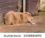 capybara sitting down   Shutterstock . vector #1058880890