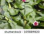 Closeup Of Lily Pads And A...