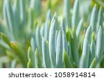 Small photo of Senecio mandraliscae also known as blue fingers or blue chalk stick plant