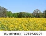 Open Field Full Of Yellow...
