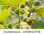 Fig Tree. Organic Green Fig...