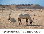 the arabian oryx. the national... | Shutterstock . vector #1058927270