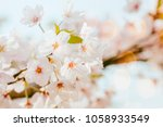 beautiful cherry blossom in... | Shutterstock . vector #1058933549