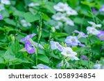 asystasia gangetica  ganges...   Shutterstock . vector #1058934854