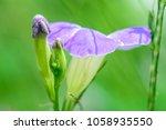 asystasia gangetica  ganges...   Shutterstock . vector #1058935550