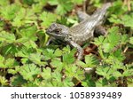 lizard on a patch of clover. | Shutterstock . vector #1058939489