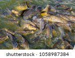 a lot of carps fighting for... | Shutterstock . vector #1058987384