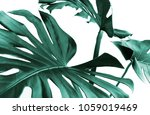 real monstera leaves decorating ... | Shutterstock . vector #1059019469