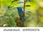 black naped monarch  bird ... | Shutterstock . vector #1059034376