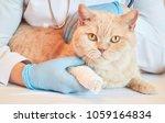 Stock photo veterinarian vaccinate the british shorthair cat of cream color 1059164834