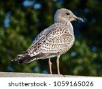 Baby Seagull Perched In A...