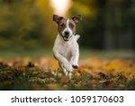 Jack Russell Terrier Running...