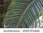 The Leaves Of The Date Palm....
