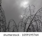 Leafless Birch Branches On The...