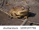 european common brown toad on... | Shutterstock . vector #1059197798