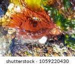 Small photo of Beadlet anemone or sea tomato, Actinia equina, growing on coastal rocks of Galicia, Spain
