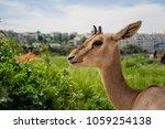 Small photo of A female israeli gazelle in gazelle valley, Jerusalem