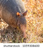 Armadillo Looking For Food At...