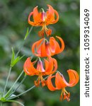 Small photo of Minnesota Wild Tiger Lily blooming in ditch