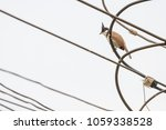 the red whiskered bulbul or... | Shutterstock . vector #1059338528