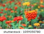close up many orange zinnia... | Shutterstock . vector #1059350780