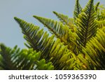 Small photo of Abies grandis or yellow fir leaves on branches layering up to the top with blue sky background