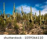 Saguaro Cactus Tucson Arizona