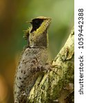 Small photo of Agamid Lizard of Thailand