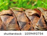 an enlarged conifer cone | Shutterstock . vector #1059493754