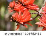 Erythrina Or Coral Tree Blosso...