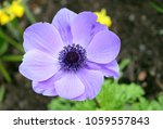 Closeup Of Purple Anemone Flower