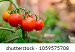 ripe red tomatoes are on the... | Shutterstock . vector #1059575708