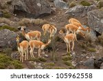 The Vicuna Is One Of Two Wild...
