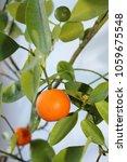Small photo of Citrus tree Calamondin