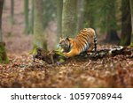 the siberian tiger  panthera... | Shutterstock . vector #1059708944