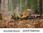 The Siberian Tiger  Panthera...