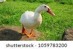 White Ducks In Riverbank Park ...