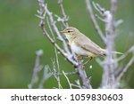 willow warbler summer | Shutterstock . vector #1059830603