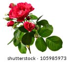 Stock photo flowers of climbing rose isolated on white background 105985973