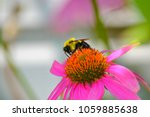 Bumblebee Gathers Nectar From ...