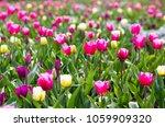 colorful tulip flowers field in ... | Shutterstock . vector #1059909320