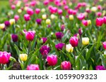 tupils flowers blossom  | Shutterstock . vector #1059909323